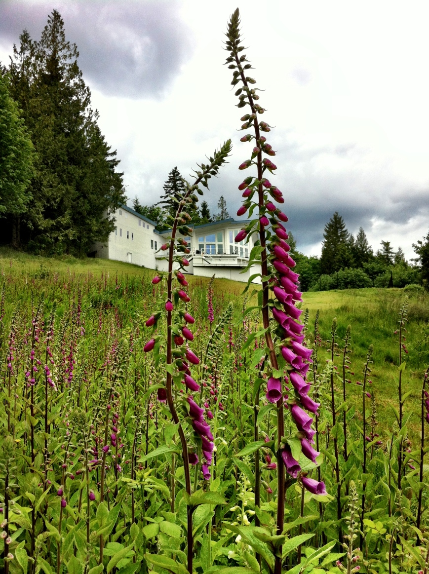 Foxgloves below the meadow