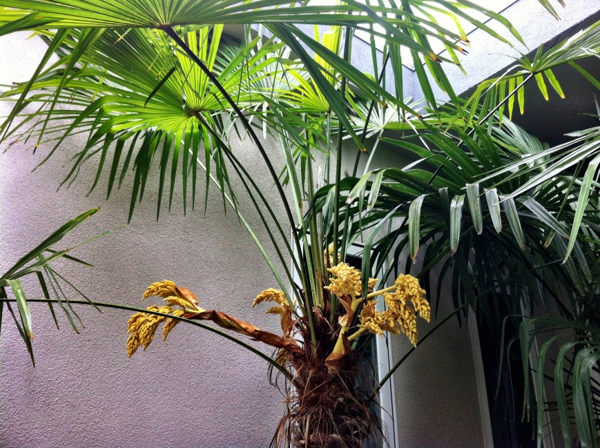 Palm Blooms