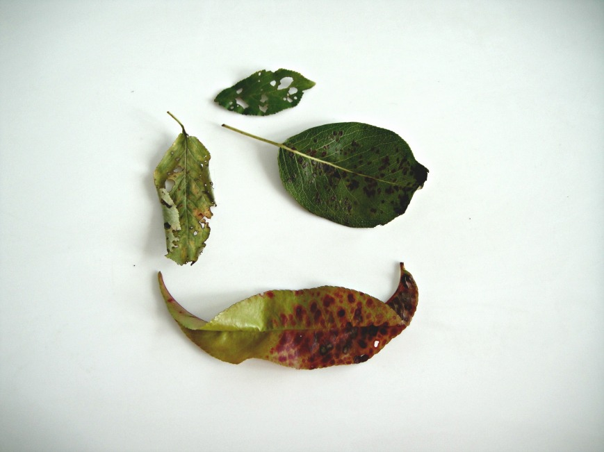 Diseased Leaves