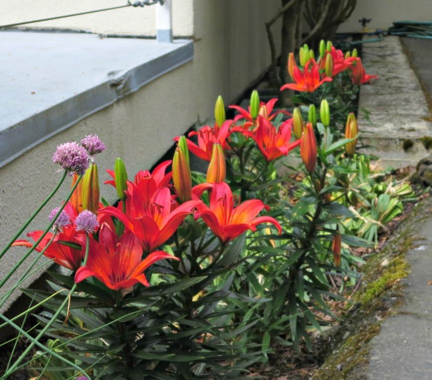 lilies 002