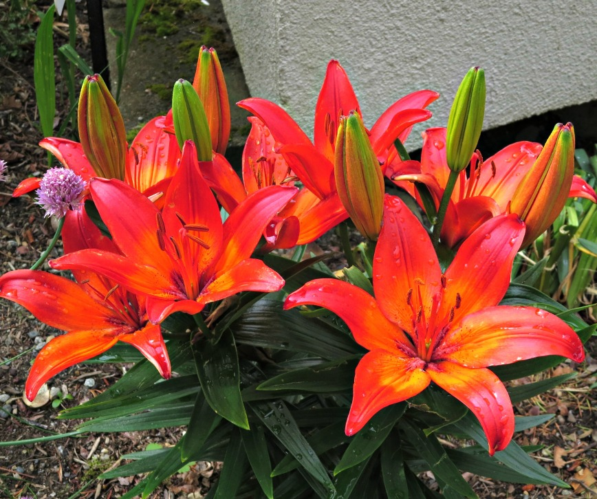 Lilies up close and personal