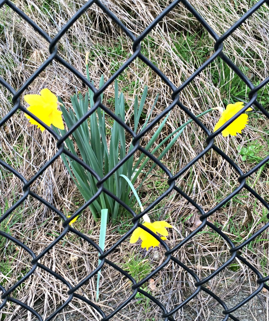 Daffodils by Tennis Court