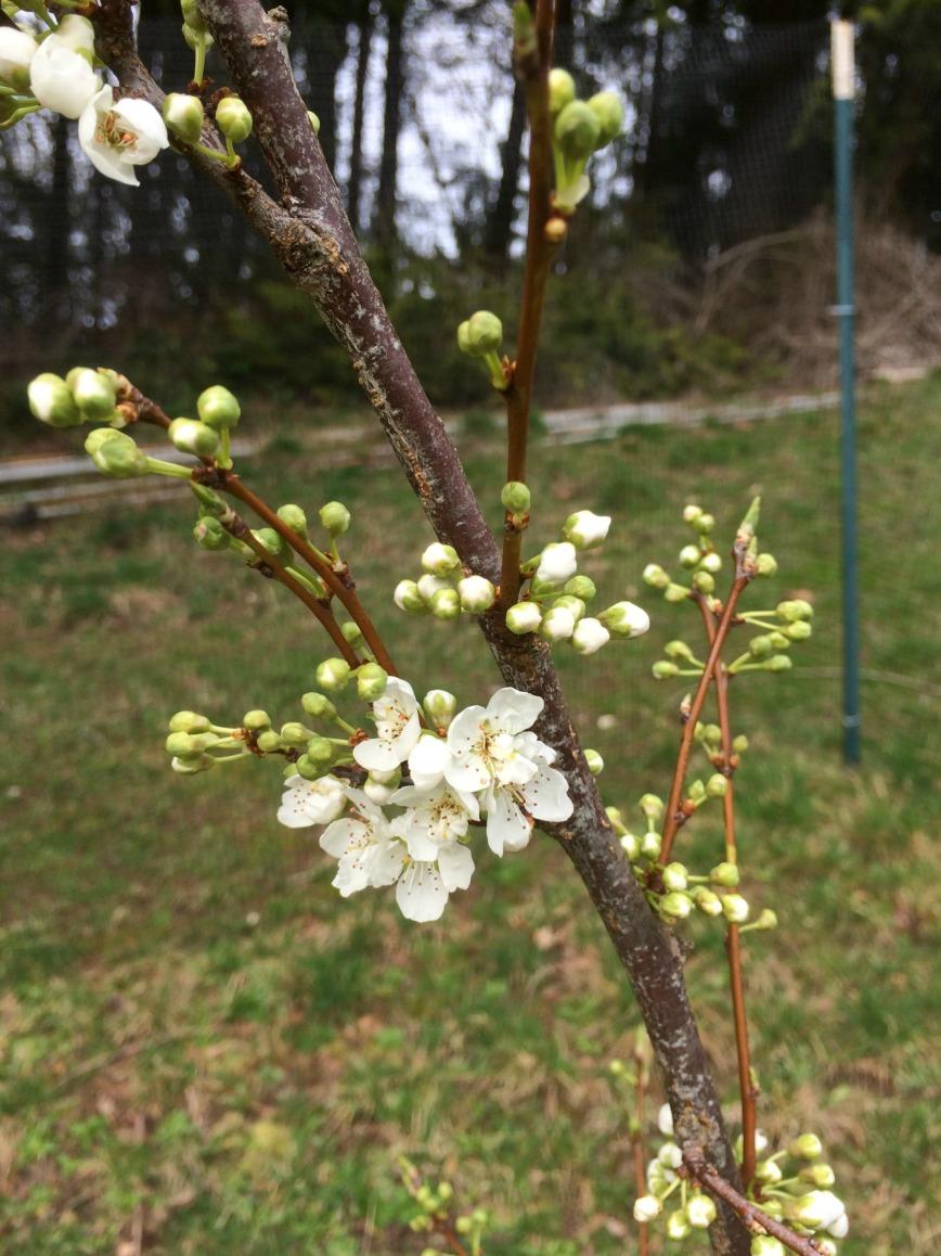 Plucot Blooms