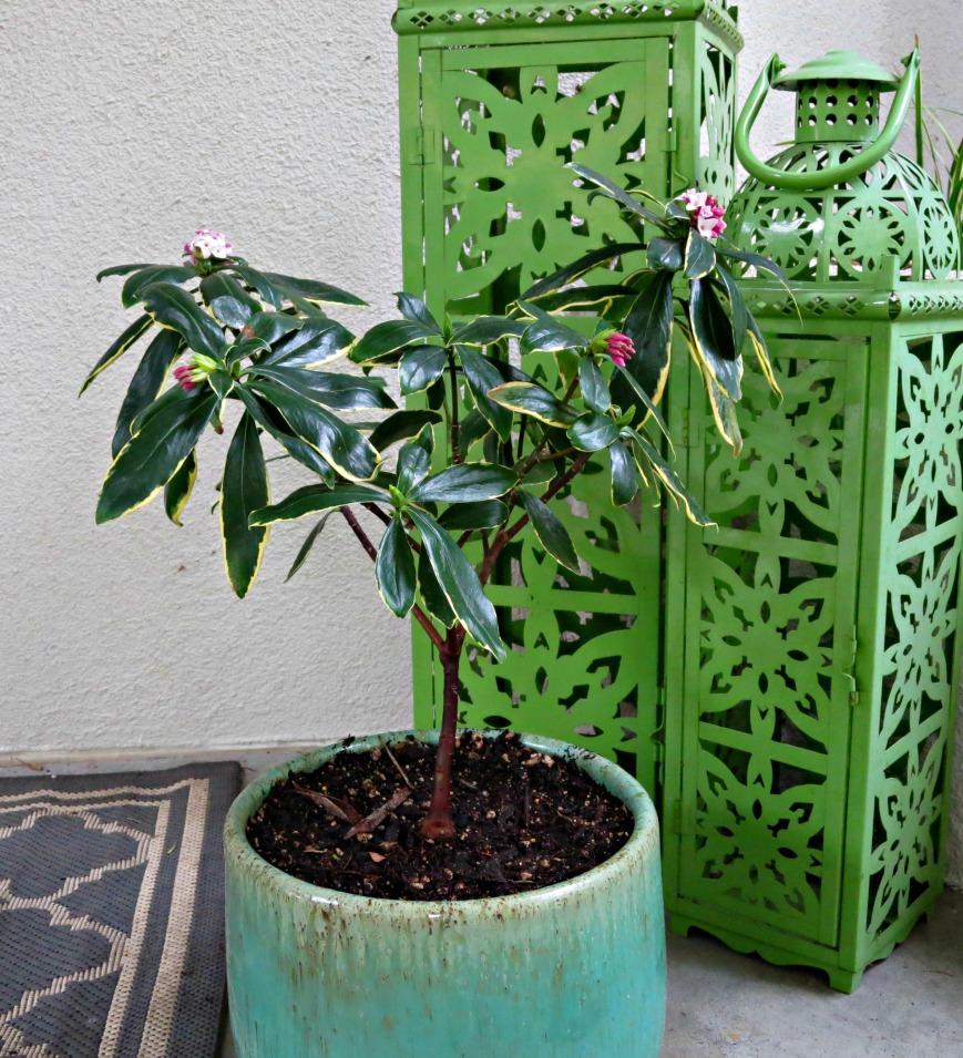 daphne bush