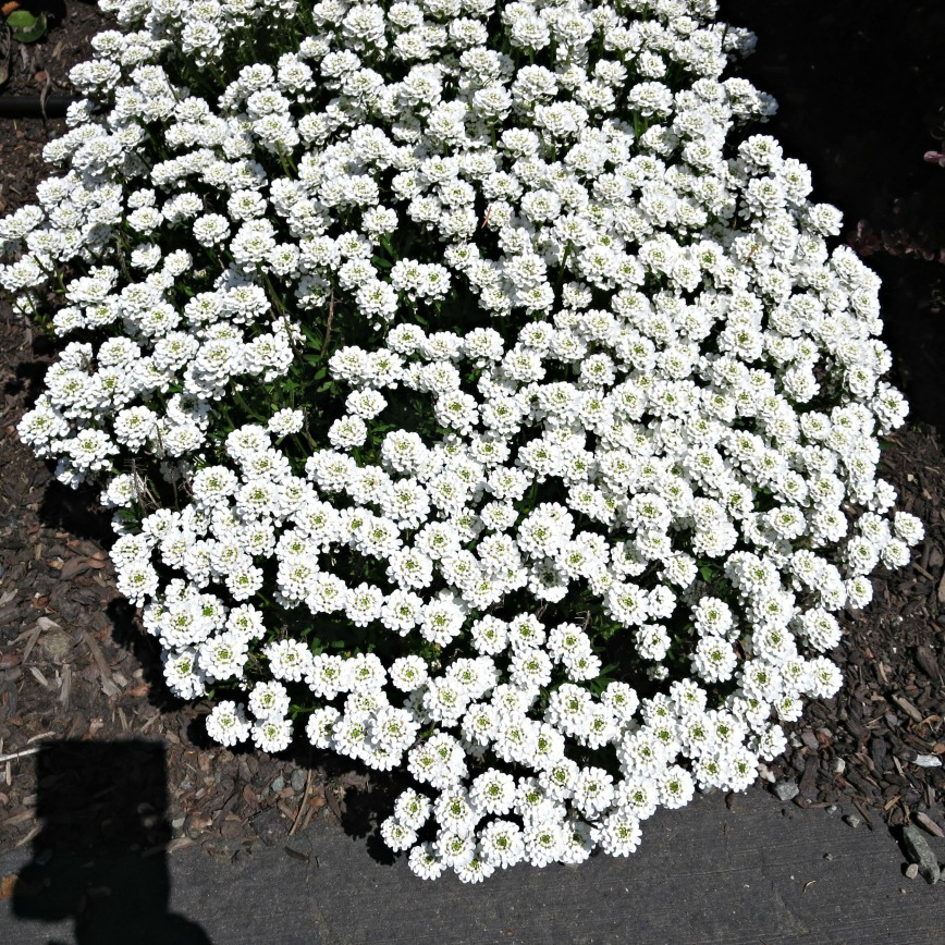 SS Candytuft