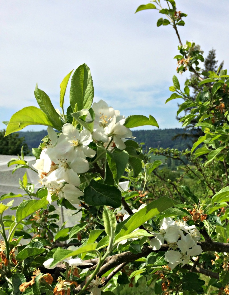 SSofS Apple Blossoms