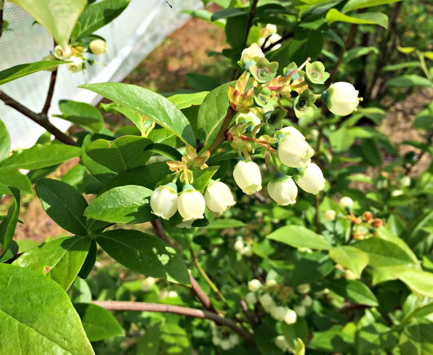 SSofS Blueberry Blossoms