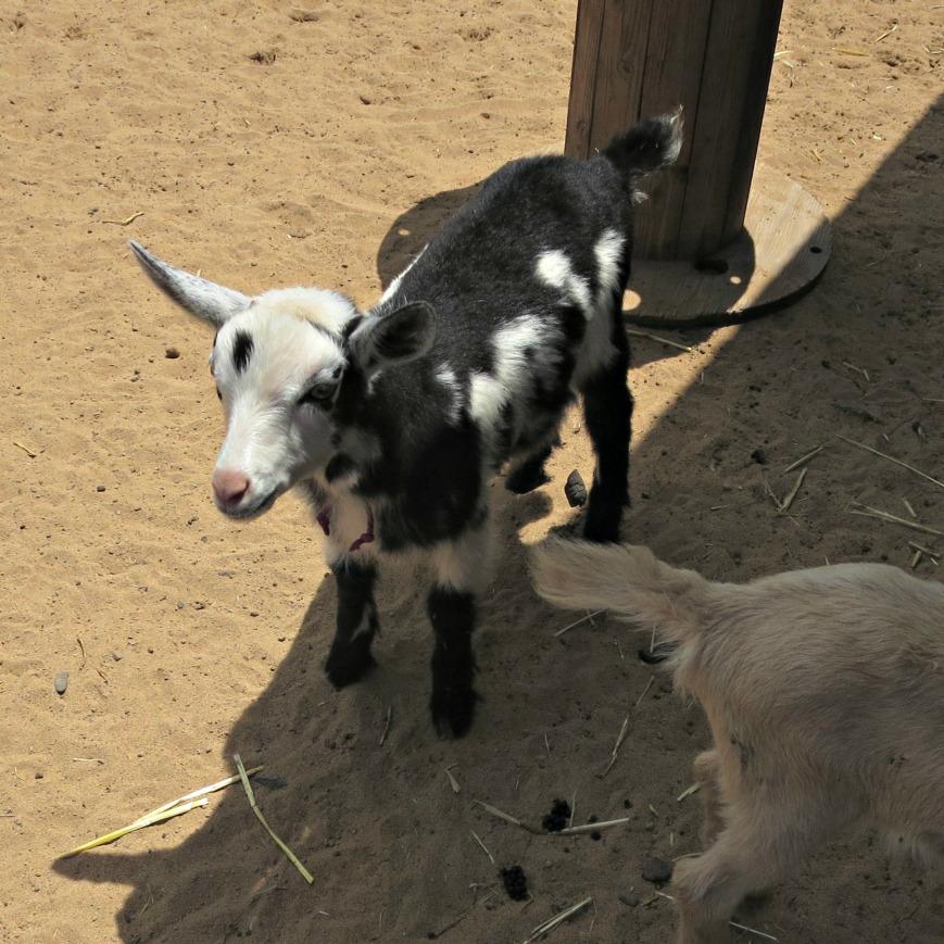 ToTT Goat 2