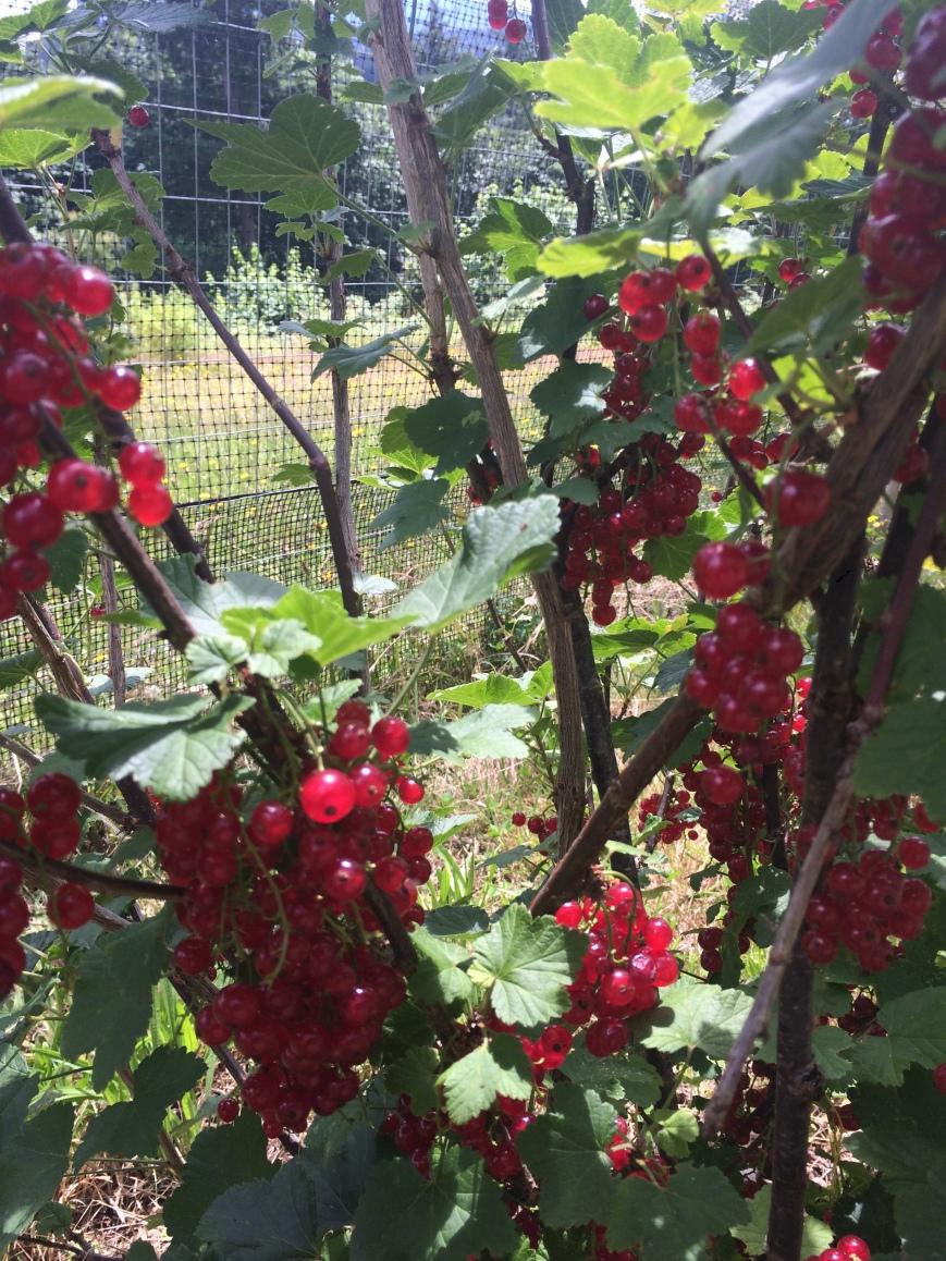 Garden Currants