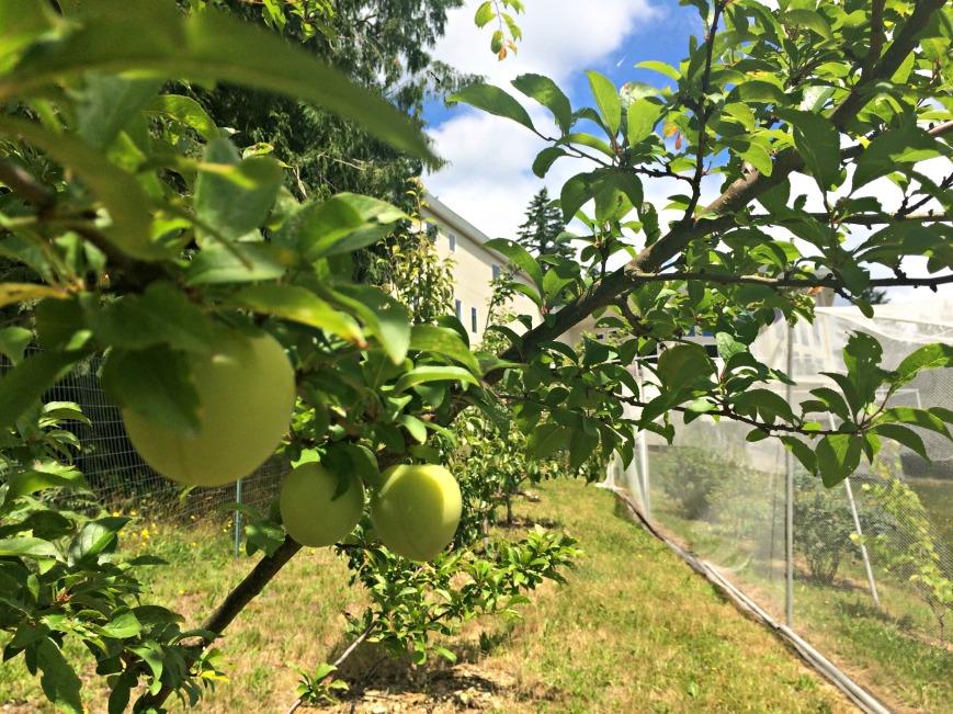 Garden Shiro Plums 2