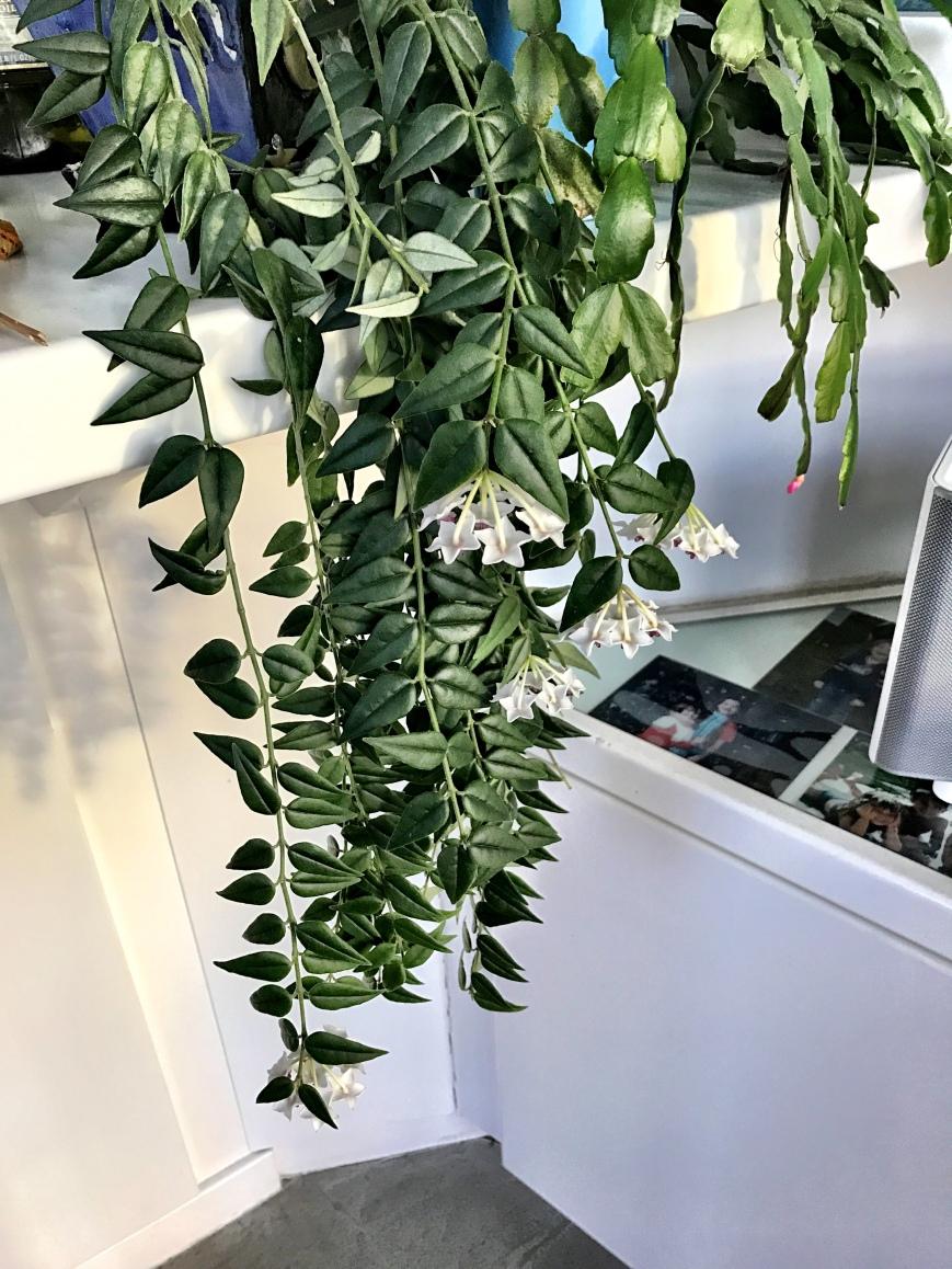 grannys-plant