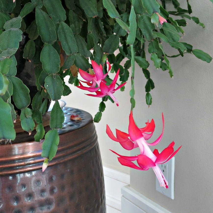 wb-christmas-cactus