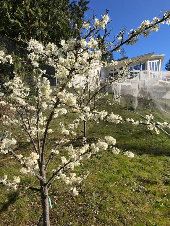 Plum Tree in Bloom